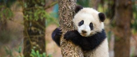 Disneynature-Born-in-China-panda-Image