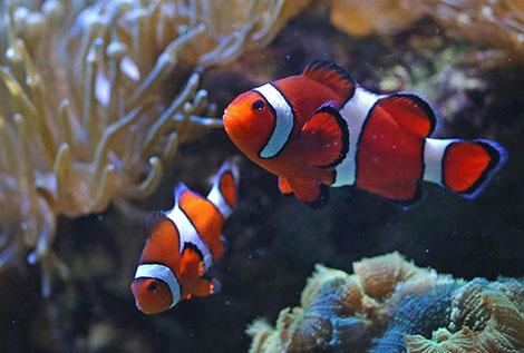 alla-ricerca-di-nemo-pesci-pagliaccio